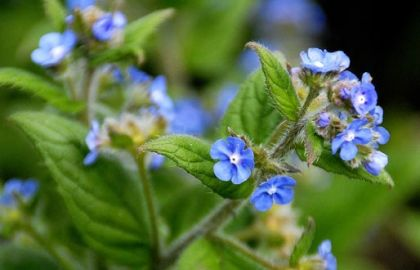Wildflower Alkanet Green Irish Wild Flora Wildflowers Of