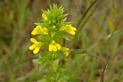 Bartsia, Yellow
