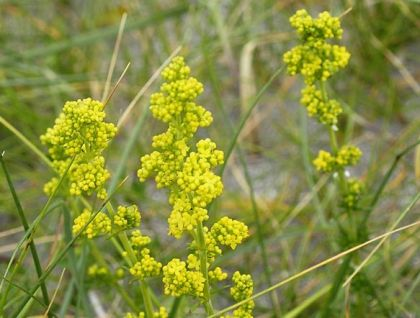 Bedstraw, Lady's
