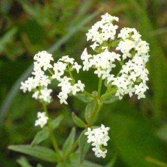 Bedstraw, Northern