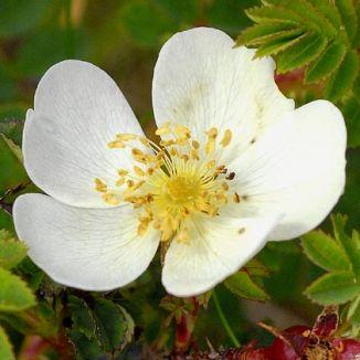 Wildflower rose burnet irish wild flora wildflowers of ireland rose burnet mightylinksfo Image collections