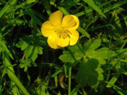 Wildflower buttercup creeping irish wild flora wildflowers of ireland buttercup creeping mightylinksfo Images