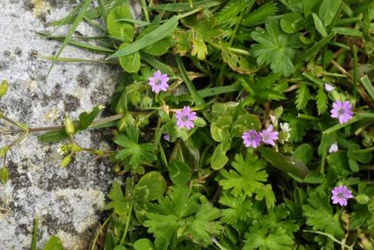 Crane's-bill, Dove's-foot