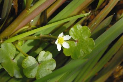 Crowfoot, Round-leaved