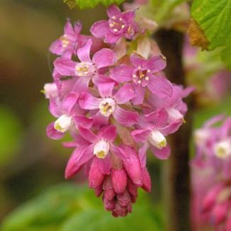 Wildflower currant flowering irish wild flora wildflowers of ireland currant flowering mightylinksfo