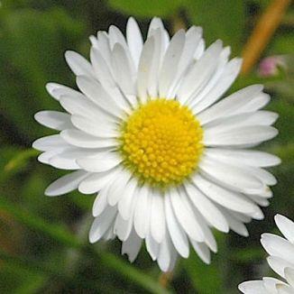 Dasiy flower