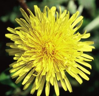 Wildflower Dandelion Irish Wild Flora Wildflowers of Ireland