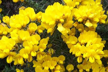 Wildflower gorse irish wild flora wildflowers of ireland from our folklore get a few handfuls of the yellow blossoms of the furze and boil them in water give the water as a dose to the horse and this will cure mightylinksfo