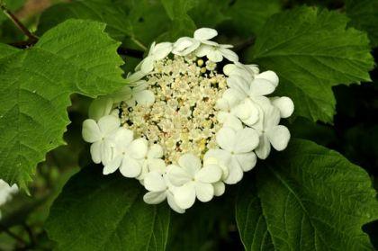 Wildflower guelder rose irish wild flora wildflowers of ireland guelder rose mightylinksfo Image collections