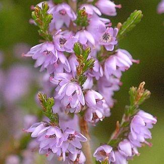 Wildflower heather irish wild flora wildflowers of ireland heather mightylinksfo