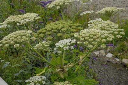 it is because giant hogweed is a potoxic plant that it can do so much damage its sap can cause severe reactions on skin which has touched it
