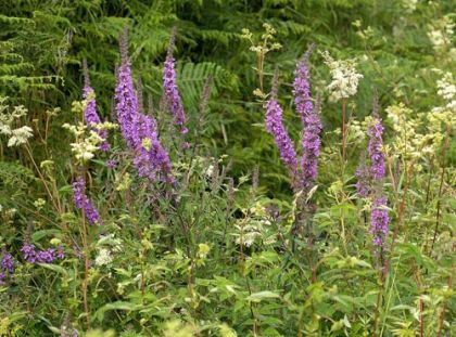 wildflower purpleloosestrife irish wild flora wildflowers of ireland, Beautiful flower