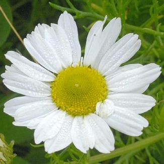 Mayweed Sea