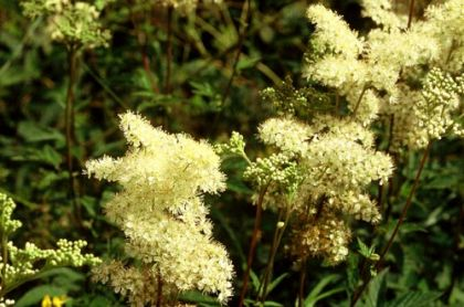 Herbal Health: Sooth Your Stomach and Relieve Pain with Meadowsweet Flowers
