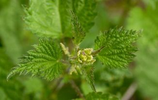 Nettle, Common