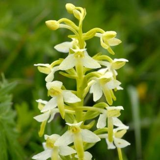 Butterfly-orchid, Lesser