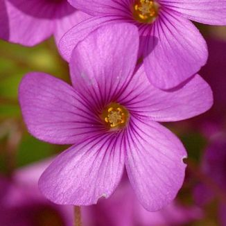 Wildflower pink sorrel irish wild flora wildflowers of ireland pink sorrel mightylinksfo