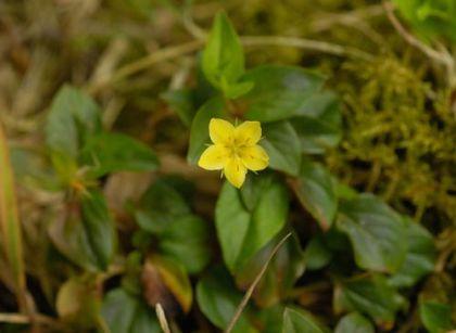 Wildflower pimpernel yellow irish wild flora wildflowers of ireland pimpernel yellow mightylinksfo