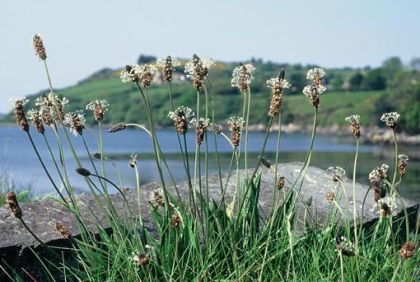 Irish Wildflowers Plantain, Ribwort