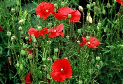 Wildflower poppy common irish wild flora wildflowers of ireland poppy common mightylinksfo