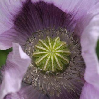 Wildflower Poppy Opium Irish Wild Flora Wildflowers Of Ireland
