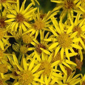 Wildflower ragwort common irish wild flora wildflowers of ireland ragwort common mightylinksfo Images