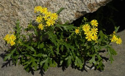 Ragwort, Oxford