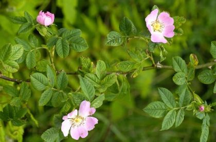How to plant a rose on the dog rose correctly and at the first time