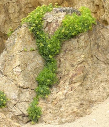 Samphire, Rock