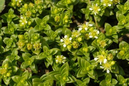 Sea Sandwort was among the