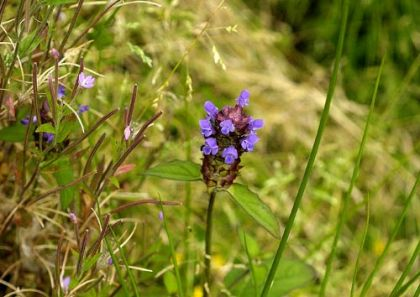 Wildflower Self-heal Irish Wild Flora Wildflowers of Ireland