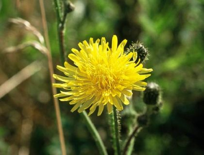 Wildflower sowthistle perennial irish wild flora wildflowers of ireland sowthistle perennial mightylinksfo