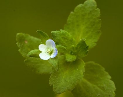 Field-speedwell, Green