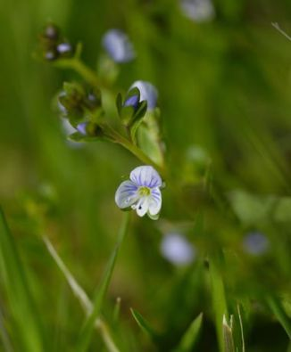 Speedwell, Thyme-leaved