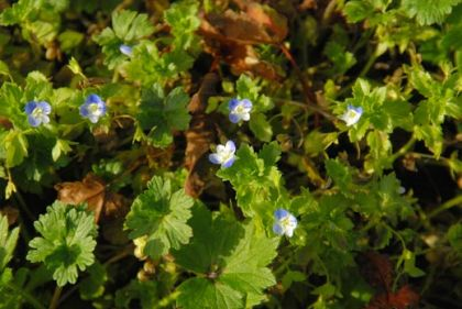 Field-speedwell, Common