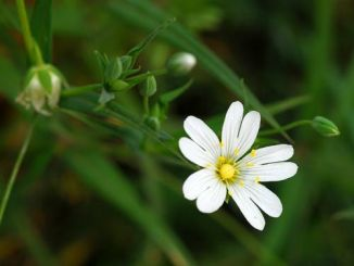 Stitchwort, Greater