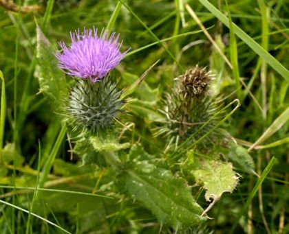Thistle, Spear