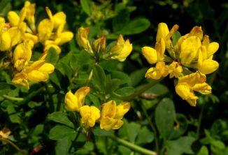 Bird's-foot-trefoil, Greater
