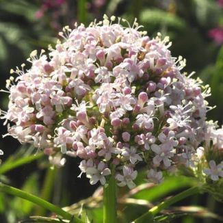 Valerian, Common