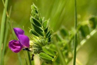 Vetch, Common