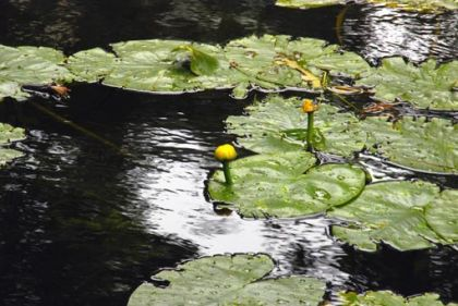 Water-lily, Yellow