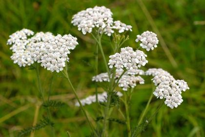 Wildflower yarrow irish wild flora wildflowers of ireland pull 10 leaves of the yarrow and throw one leaf away put the 9 others in a white cloth and tie it with a string around mightylinksfo