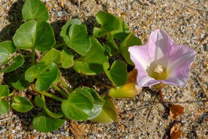Bindweed, Sea