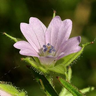 Crane's-bill, Cut-leaved