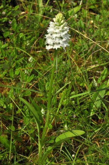 Spotted-orchid, O'Kelly's