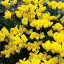 Bird's-foot-trefoil, Common
